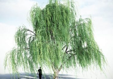 Weeping Willow (V2) from VIZPARK