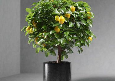 Free 3D Model – Lemon Tree from VizPeople Blog