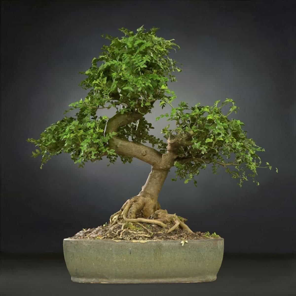 Free 3d model Bonsai Tree 23 VR / AR from Mark Florquin