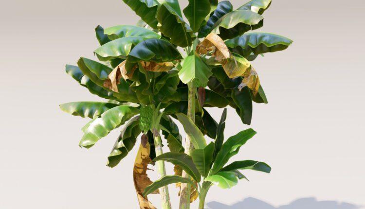 3d Cay Chuoi (Banana tree) Model 405