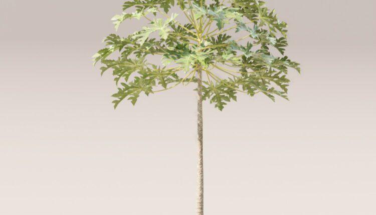 3d Cay Du Du(Papaya tree) Model 406 Free Download